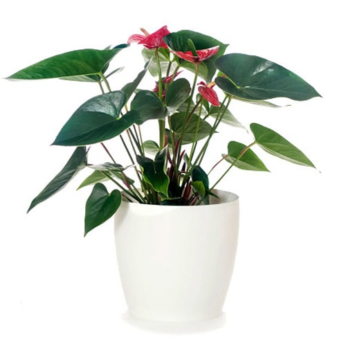Beautiful Plant of Tropical with Delicate Affections To