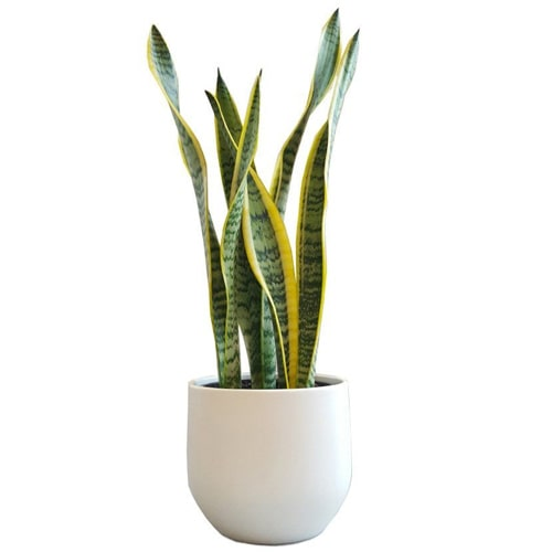Captivating Sansevieria Plant with Divine Pleasure