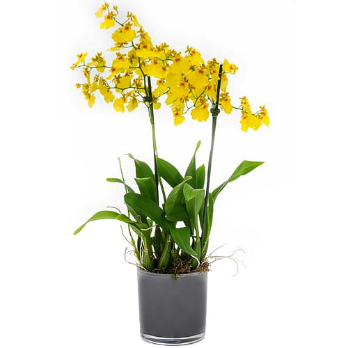 Charming Oncidium Orchids with Impression of Love