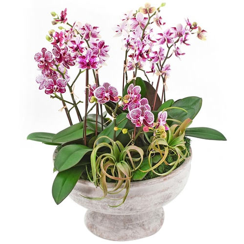 Classic Orchids of Mini Pink Dendrobium To