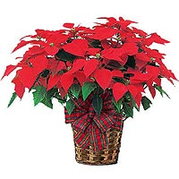 Poinsettia Pot To